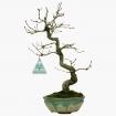 Quercus serrata - 29 cm
