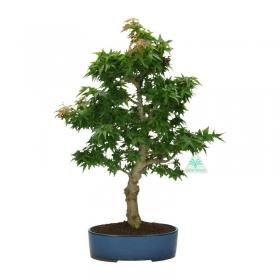 Acer palmatum Kotohime - acero - 47 cm