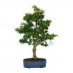 Acer palmatum Kotohime - érable - 47 cm