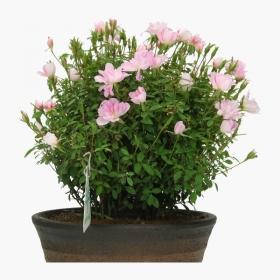 Rosa - 25 cm