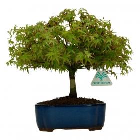 Acer palmatum Kyohime - acero - 24 cm