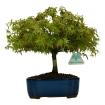 Acer palmatum Kyohime - maple - 24 cm