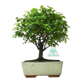 Sagerethia theezans - 22 cm