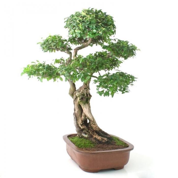 Sagerethia theezans - Sageretia - 86 cm