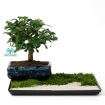 Bonsai gift set Carmona 3