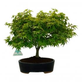 Acer palmatum Kyohime - acero - 30 cm