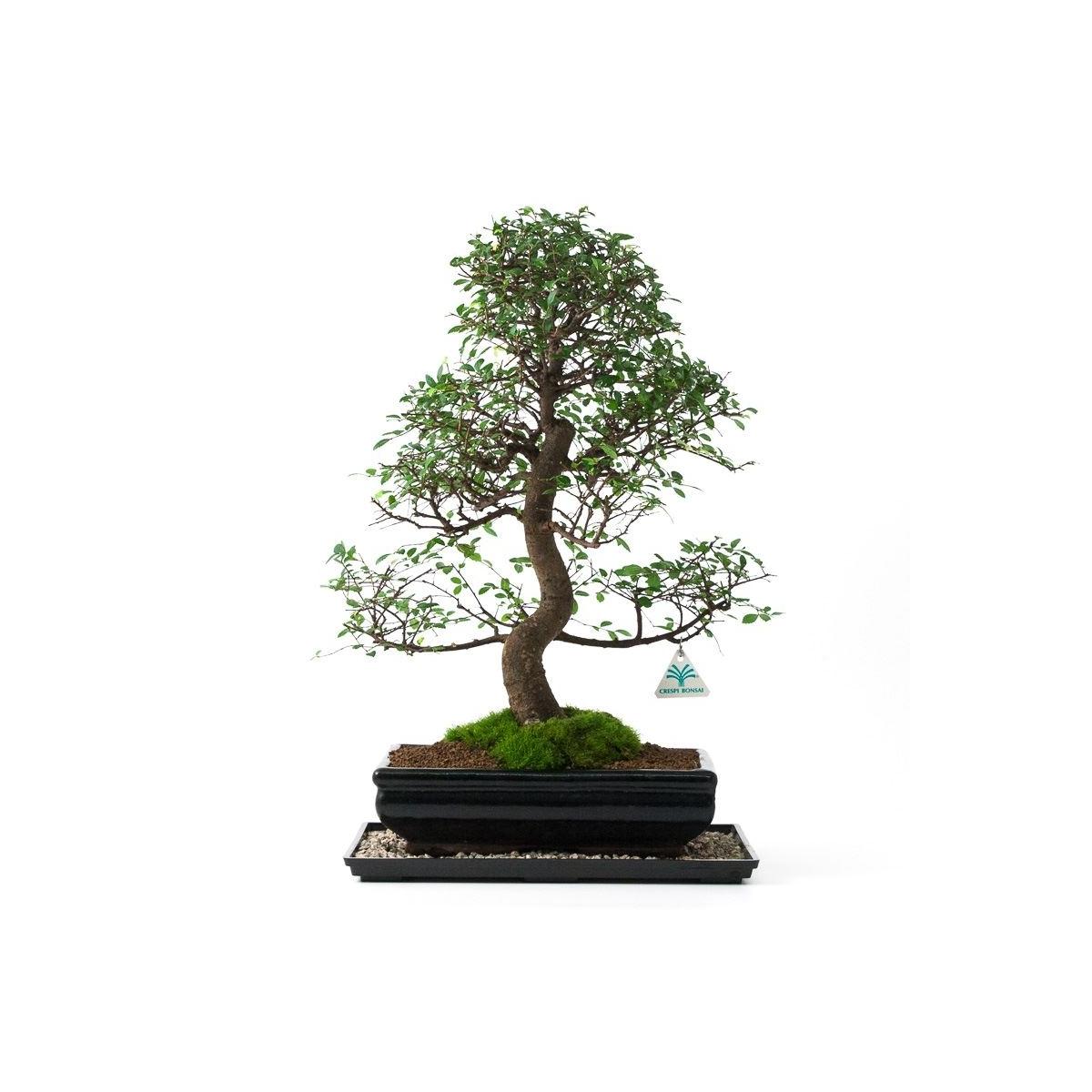 Bonsai gift set Zelkova nire 2