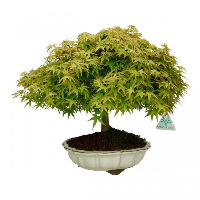 Acer palmatum Kyohime - acero - 31 cm