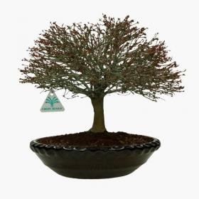 Acer palmatum Kyohime - acero - 32 cm