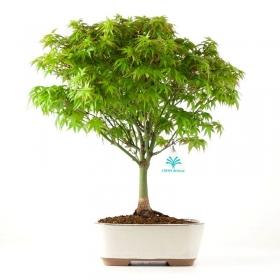 Acer palmatum Kyohime - acero - 38 cm