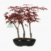 Acer palmatum Nomura - acero - 29 cm