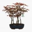 Acer palmatum Nomura - érable - 39 cm