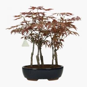 Acer palmatum Nomura - acero - 39 cm