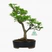 Acer palmatum Shishigashira - maple - 32 cm