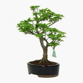 Acer palmatum Shishigashira - 32 cm