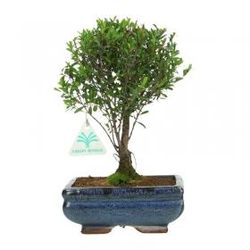 Syzygium - 25 cm