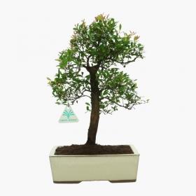 Syzygium communis - 21 cm