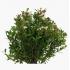 Syzygium communis - 25 cm