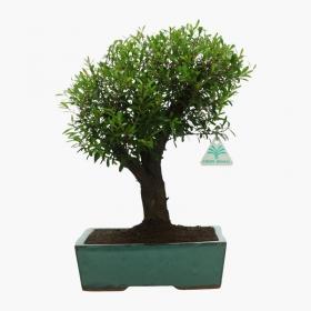 Syzygium communis - 38 cm