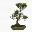 Syzygium communis - 64 cm