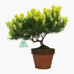 Taxus cuspidata - 31 cm