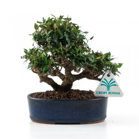 Trachelospermum asiaticum - 15 cm