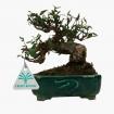 Trachelospermum asiaticum - 17 cm
