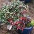 Trachelospermum asiaticum - 18 cm