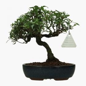 Trachelospermum asiaticum - 19 cm