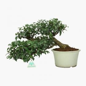 Trachelospermum asiaticum - 26 cm