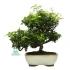 Trachelospermum asiaticum - 29 cm