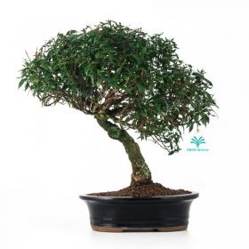 Trachelospermum asiaticum - 35 cm