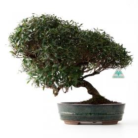Trachelospermum asiaticum - 38 cm