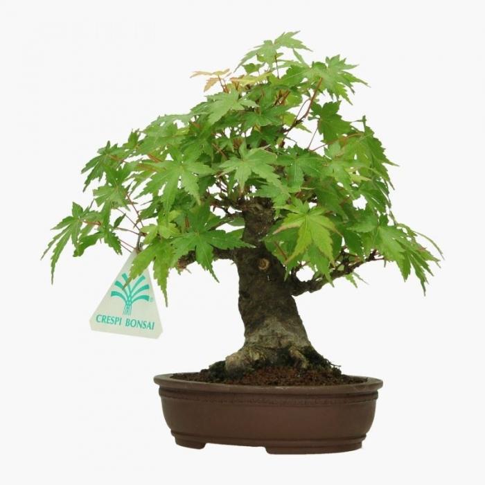 Acer palmatum Viridis - acero - 19 cm
