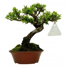 Ulmus parvifolia - 19 cm