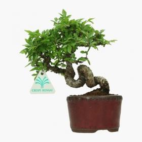 Ulmus parvifolia - 20 cm