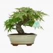 Acer palmatum Viridis - érable - 21 cm