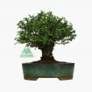 Ulmus parvifolia - 23 cm