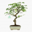 Acer palmatum Viridis- maple - 28 cm
