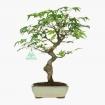 Acer palmatum Viridis - érable - 28 cm