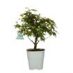 Acer palmatum Viridis - acero - 30 cm