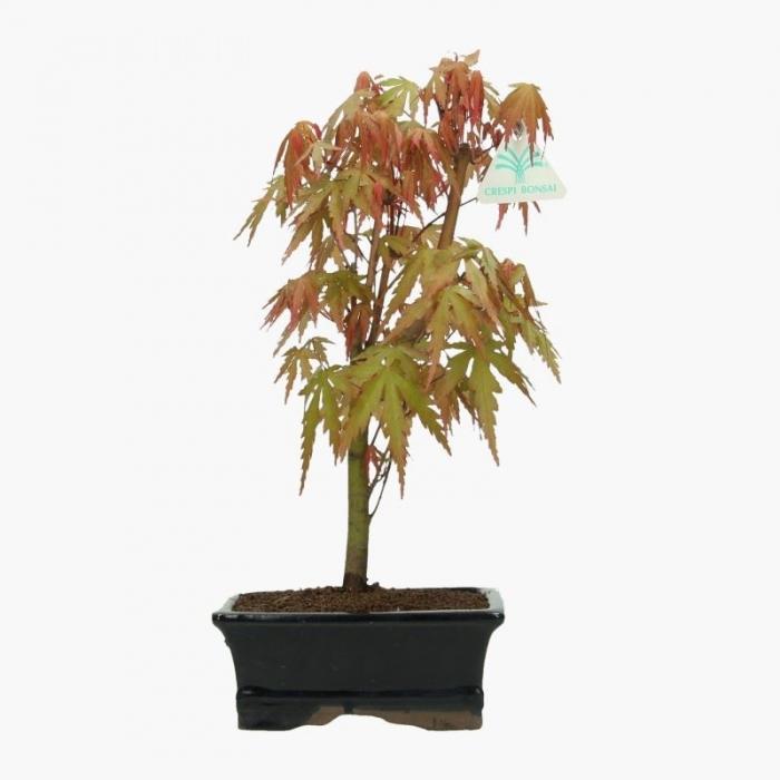 Acer palmatum Viridis - acero - 33 cm