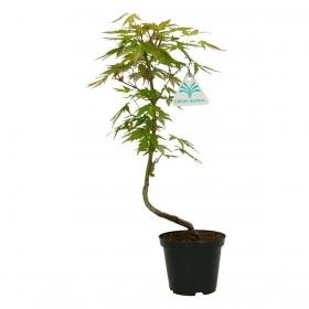 Acer palmatum Viridis - acero - 36 cm