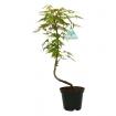 Acer palmatum Viridis - érable - 36 cm