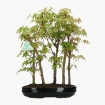 Acer palmatum Viridis- maple - 40 cm