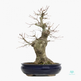 Acer palmatum Viridis - acero - 44 cm