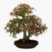 Acer palmatum Viridis - maple - 48 cm