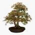 Acer palmatum Viridis - acero - 48 cm