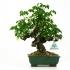 Akebia quinata - 29 cm