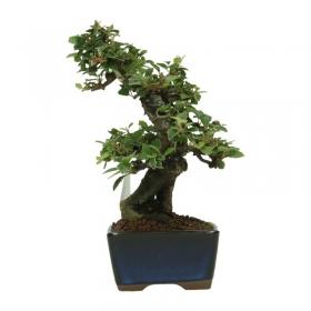 Viburnum dilatatum - 18 cm